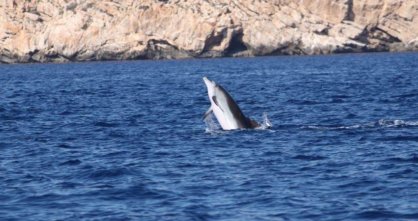 Dolphins in the sea around Cabrera national park, Mallorca.